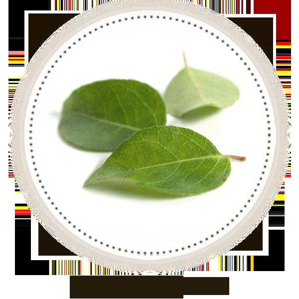 Curryblätter